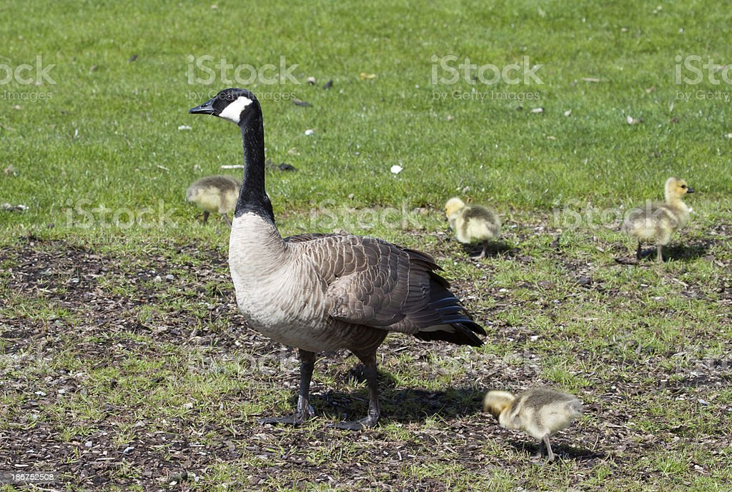 Canadian Geese and Goslings royalty-free stock photo