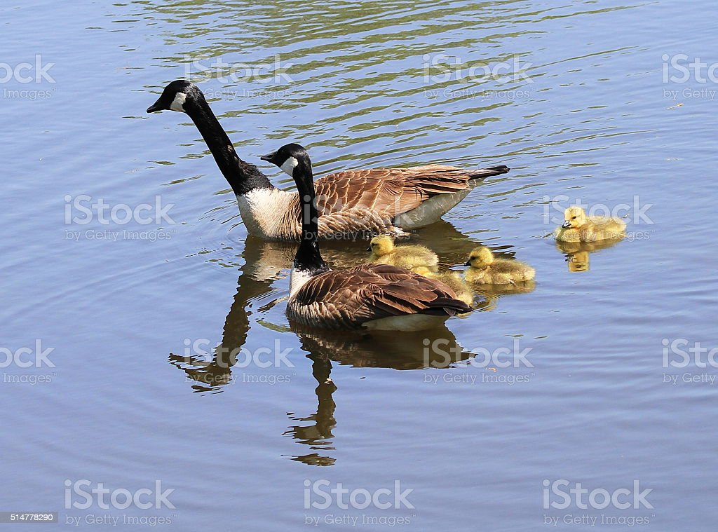 Canadian Geese and Goslings stock photo