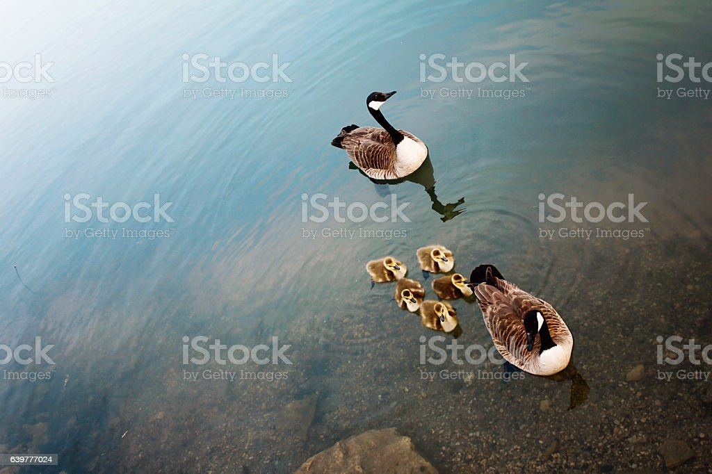 Canadian Geese and Their Young stock photo