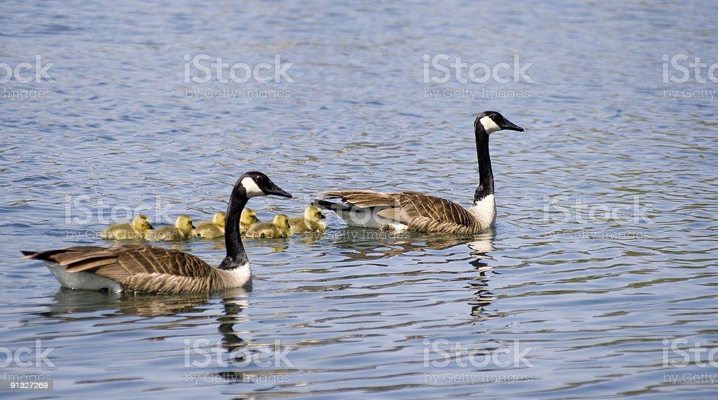 Canadian Geese and young royalty-free stock photo