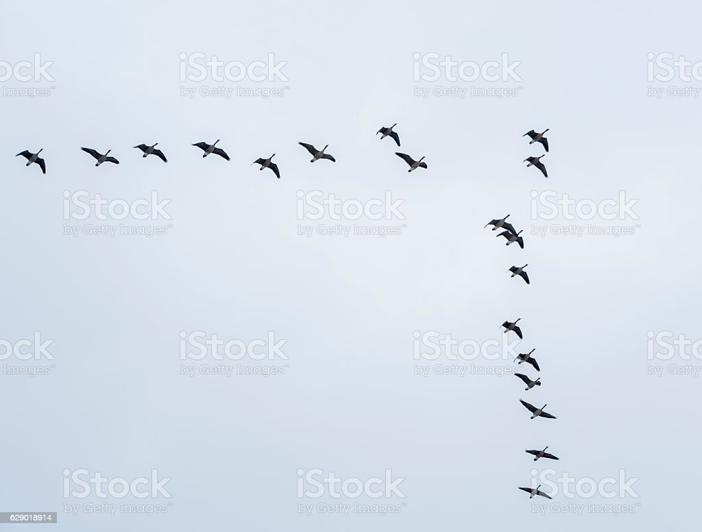 Canadian Geese grand winter migration stock photo