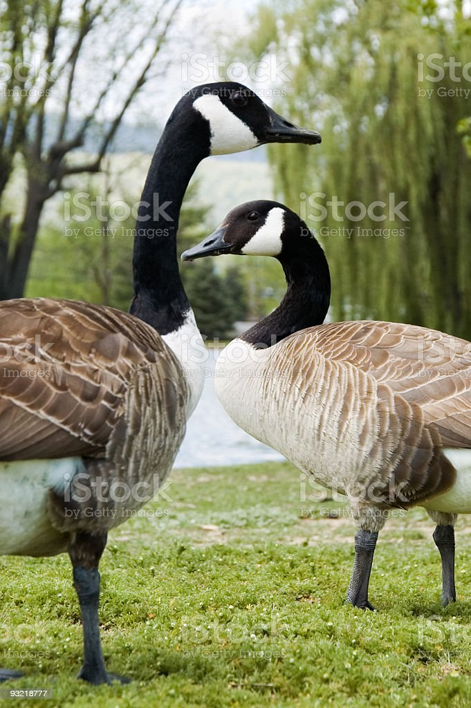 Canadian Geese in a Romantic Courtship Ritual, Spring royalty-free stock photo