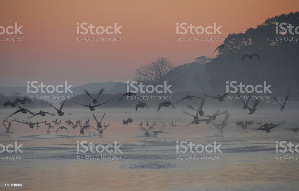 Canadian Geese Migratory Patterns stock photo