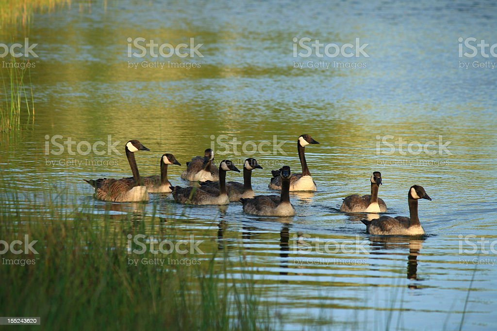 Canadian Geese on a pond royalty-free stock photo