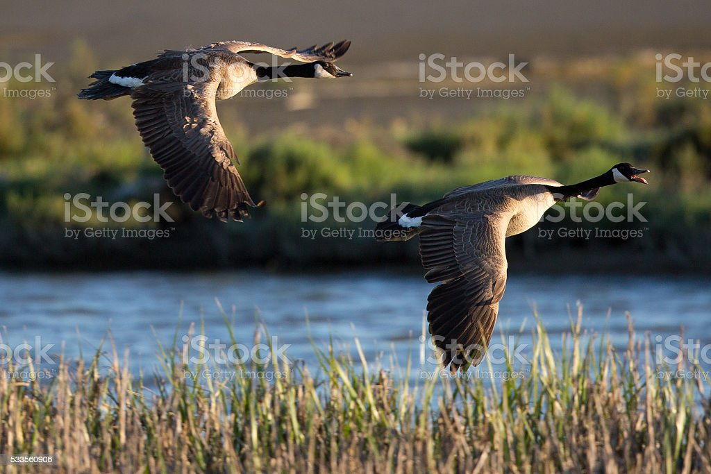 Canadian geese over a North California swamp stock photo