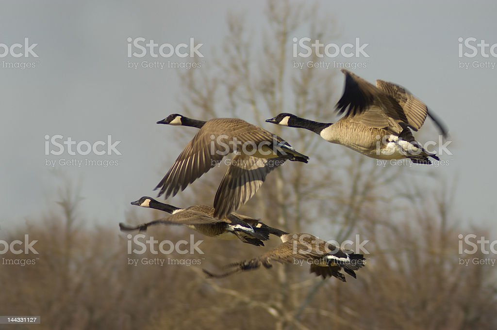 Canadian geese taking off into flight royalty-free stock photo