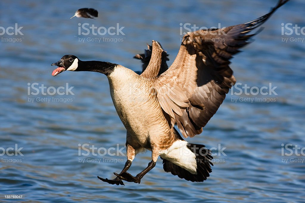 Canadian goose about to land on water royalty-free stock photo
