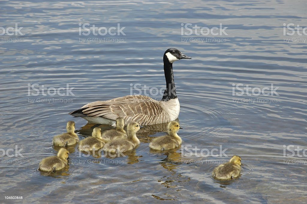 Canadian Goose and Babies stock photo