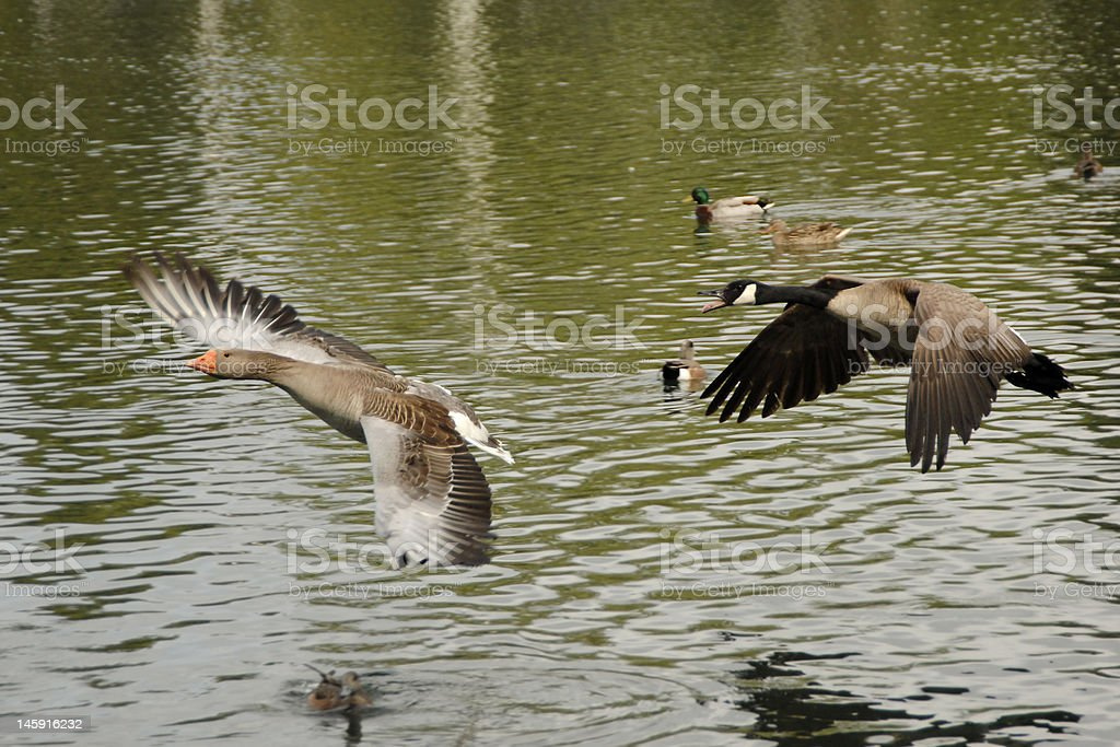 Canadian Goose Attack stock photo