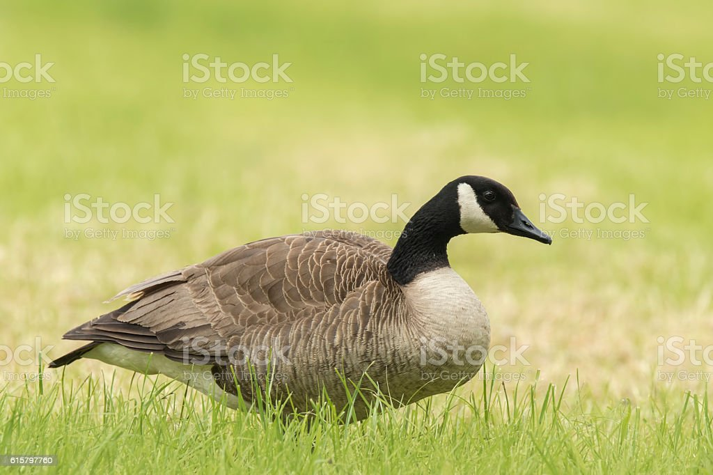 Canadian goose in a meadow stock photo
