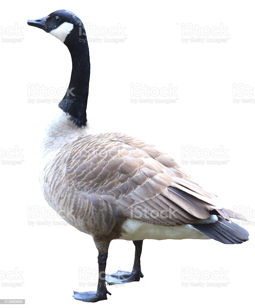 Canadian goose on a white background stock photo