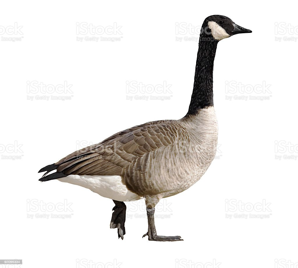 A Canadian goose on a white background stock photo