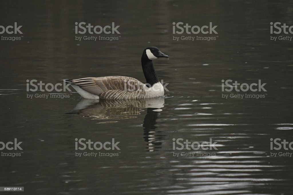Canadian goose on lake stock photo