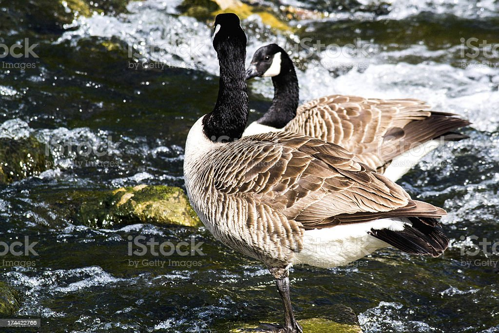 Canadian goose royalty-free stock photo