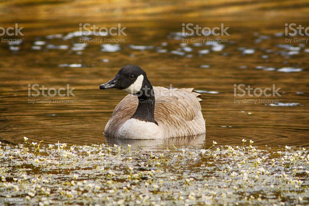 Canadian Goose Portrait stock photo