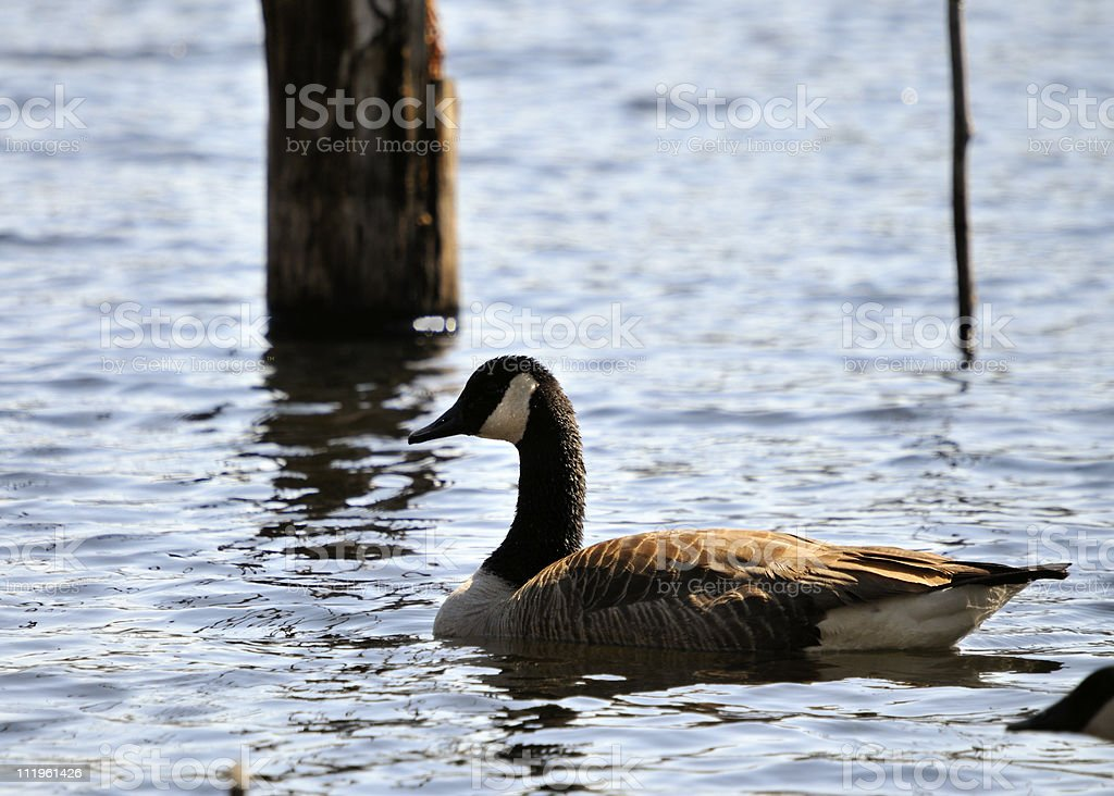 Canadian Goose Swimming stock photo