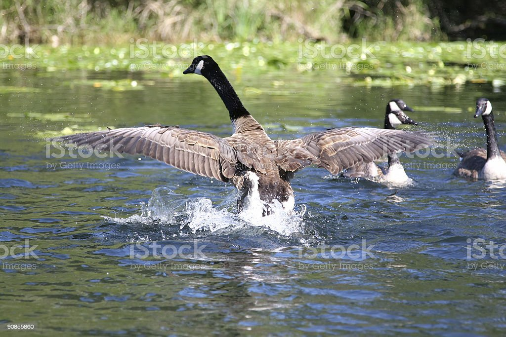 Canadian Goose Taking Off royalty-free stock photo