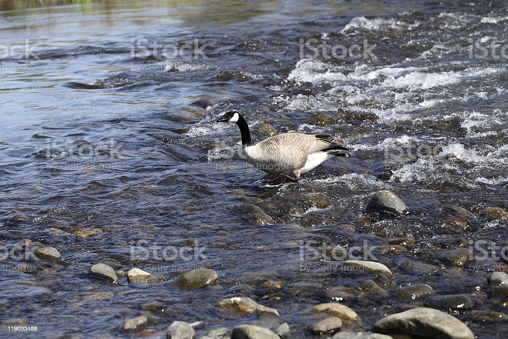Canadian goose walking in shallow river flow stock photo