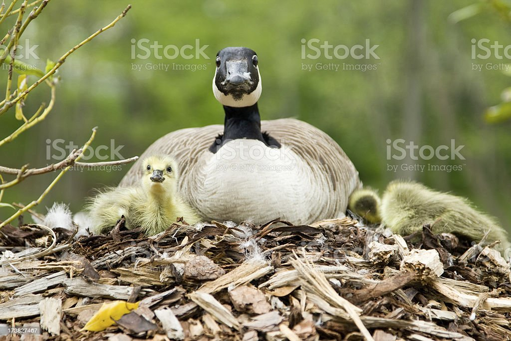 Canadian Goose with Goslings stock photo
