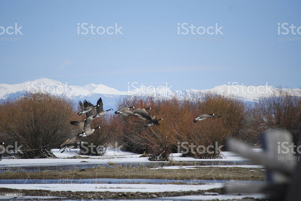 Canadian honkers in flight against the Rocky Mountains. royalty-free stock photo