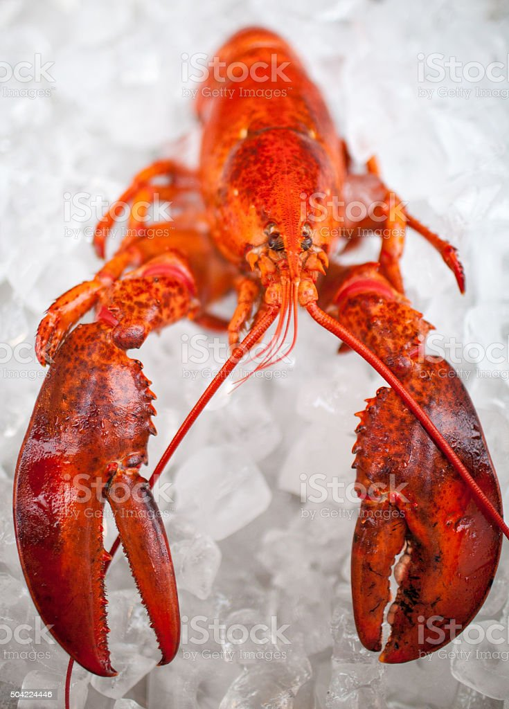 Canadian lobster stock photo