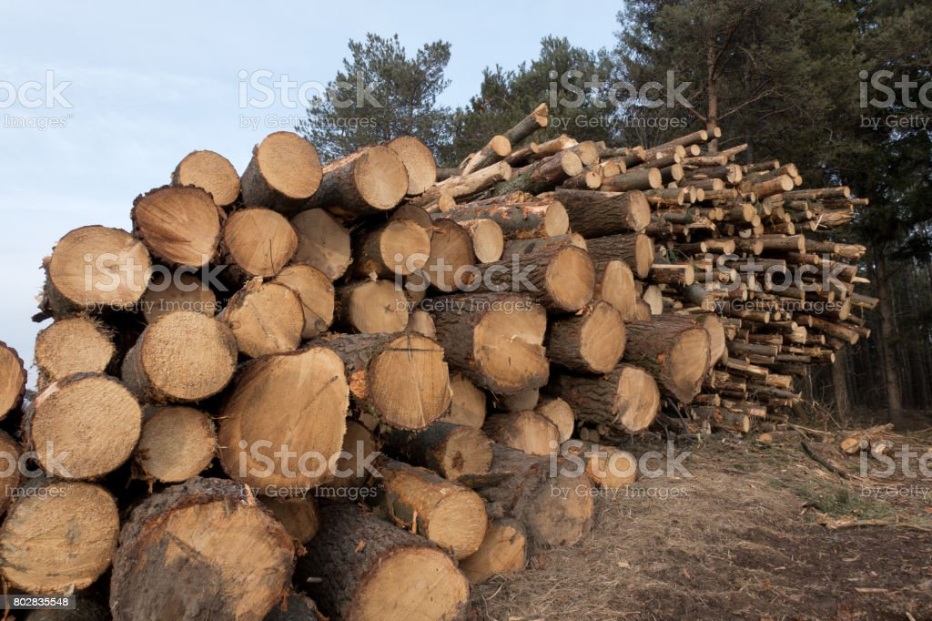 Canadian Lumber Stacked by Forest stock photo