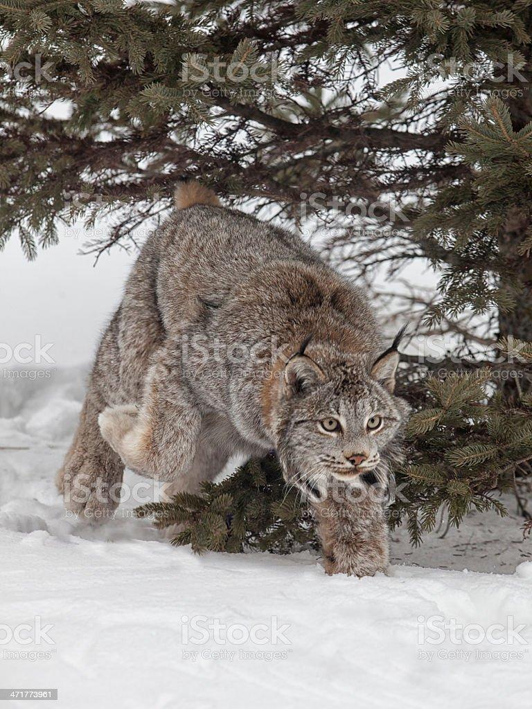 Canadian Lynx royalty-free stock photo