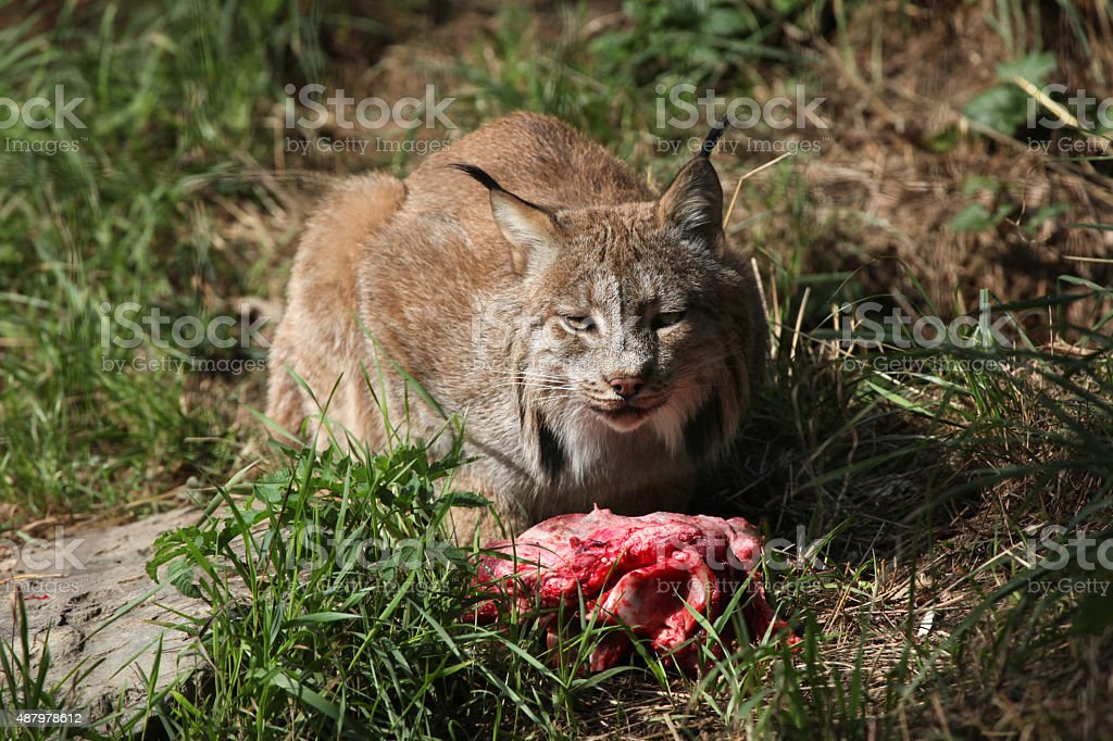 Canadian lynx (Lynx canadensis canadensis). stock photo
