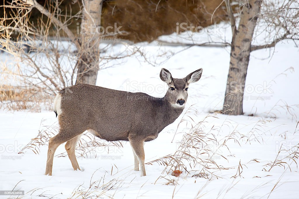 Canadian Mule Deer in the Snow stock photo