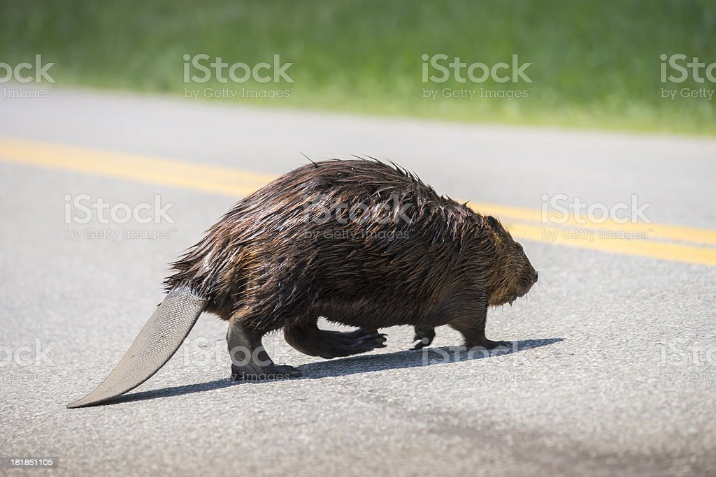 Canadian, North American beaver, Castor canadensis stock photo