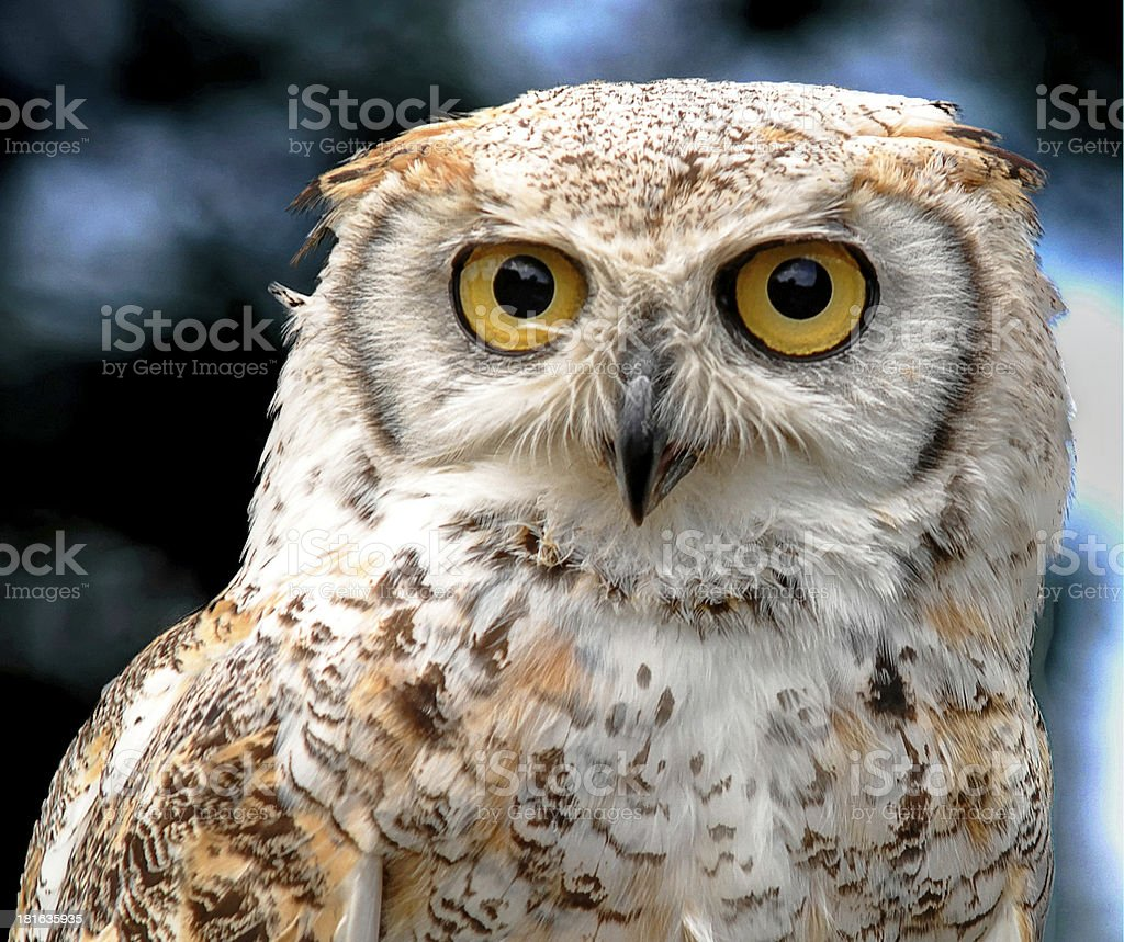 canadian owl stock photo