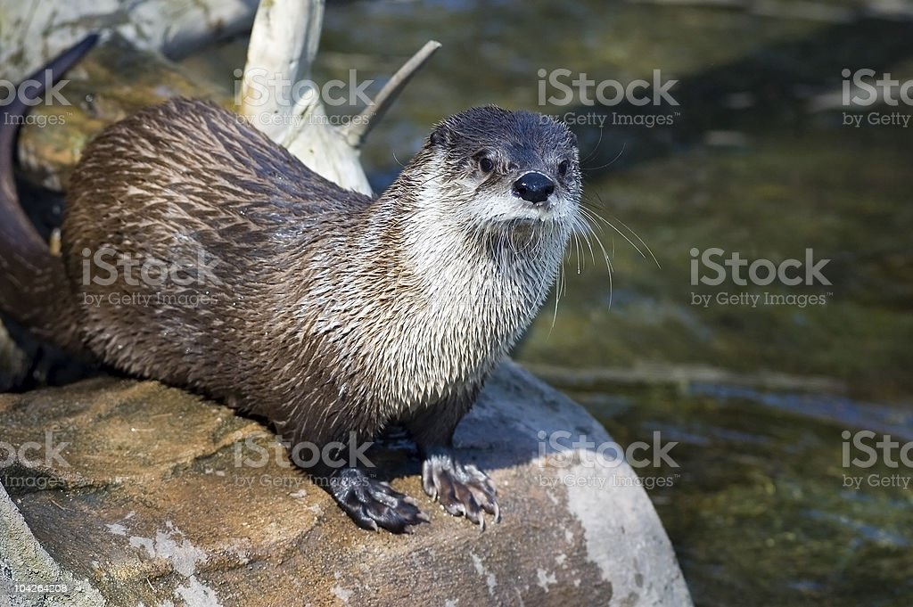 Canadian river otter stock photo