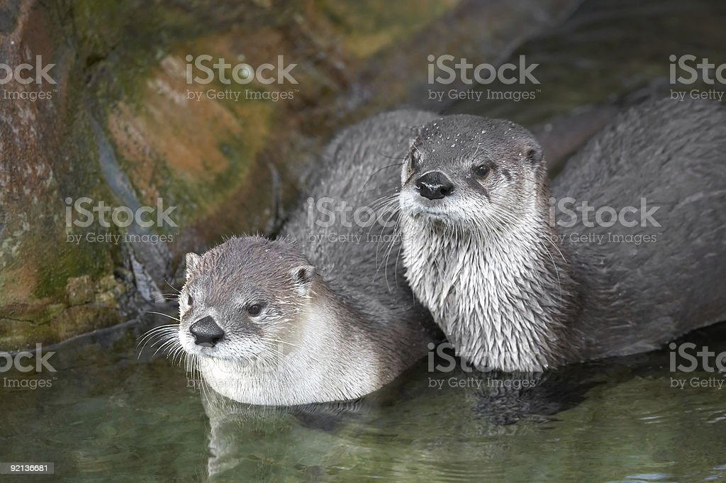 Canadian river otters royalty-free stock photo