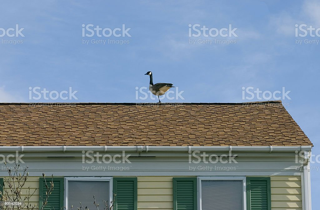 canadian roof goose stock photo