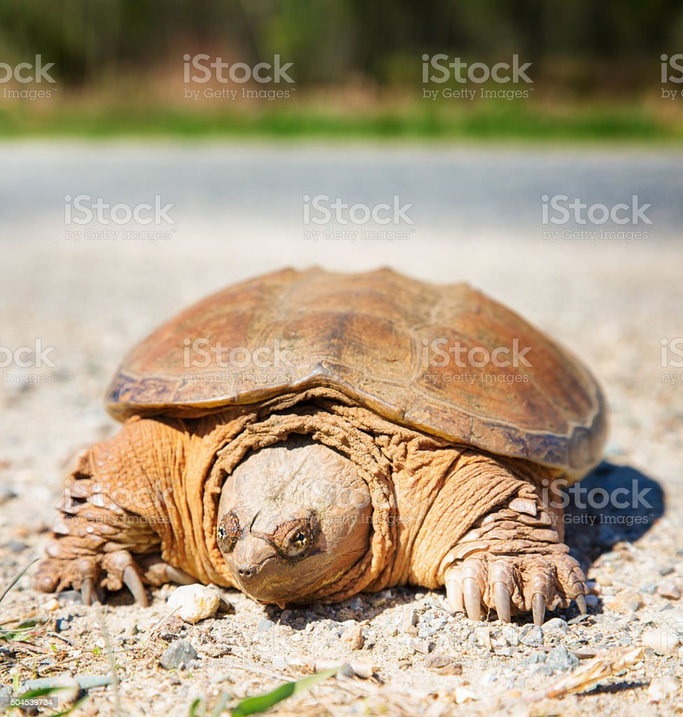 Canadian snapping turtle bravely crossing the road stock photo