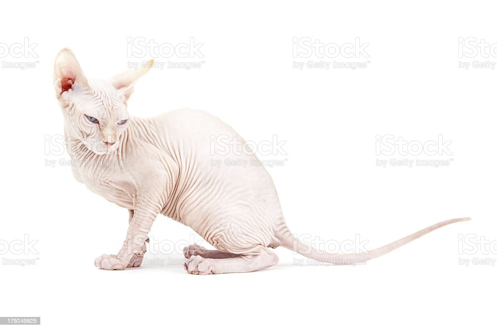 Canadian Sphinx Hairless Cat royalty-free stock photo