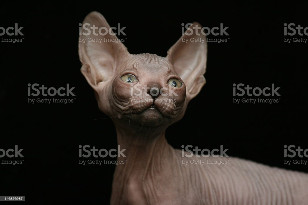 Canadian sphinx on black background stock photo