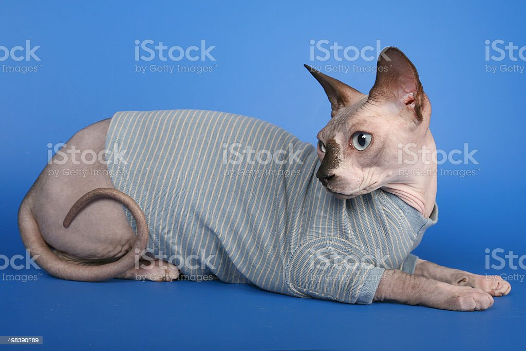 Canadian sphynx, hairless cat, on blue background, staring the camera royalty-free stock photo
