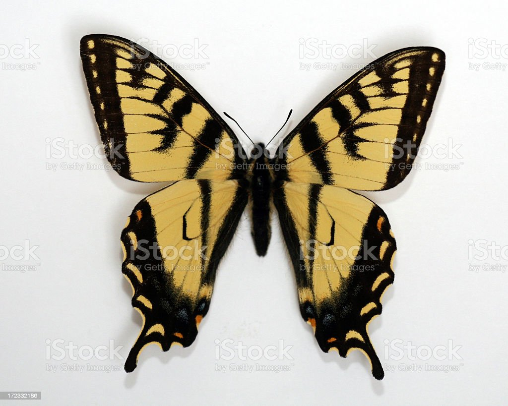 Canadian Tiger Swallowtail Butterfly Isolated on White Background stock photo