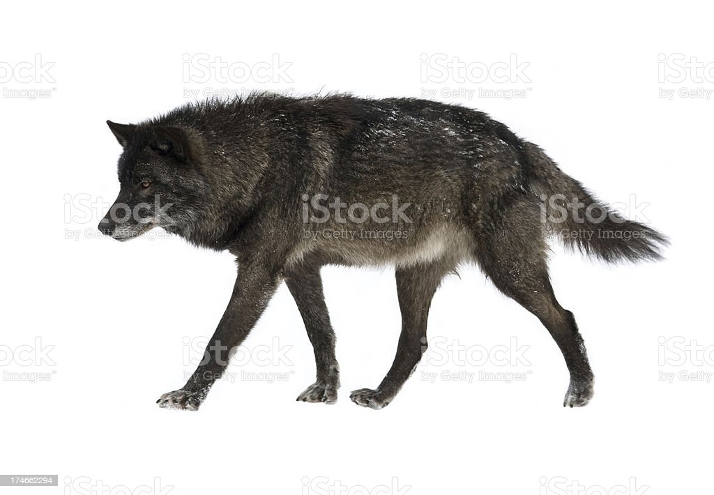 Canadian Timber Wolf stock photo
