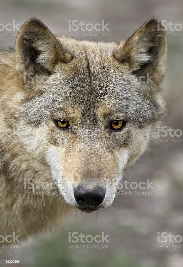Canadian Timber Wolf Portrait royalty-free stock photo