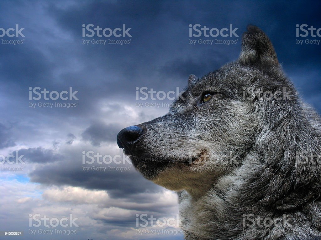A Canadian wolf against a cloudy sky background stock photo