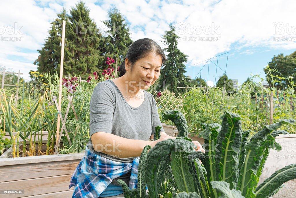 Canadian Woman Tends Kale Garden in Urban Farm Downtown Vancouver stock photo