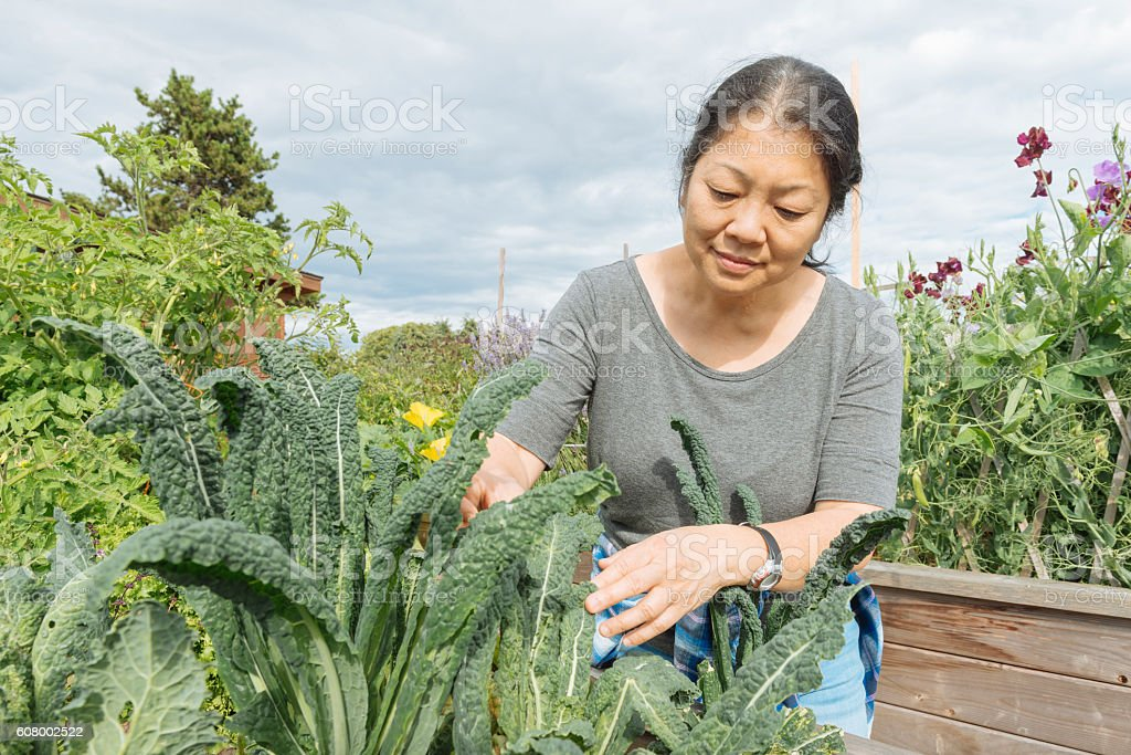 Canadian Woman Tends Kale Garden in Urban Farm Downtown Vancouver stock photo