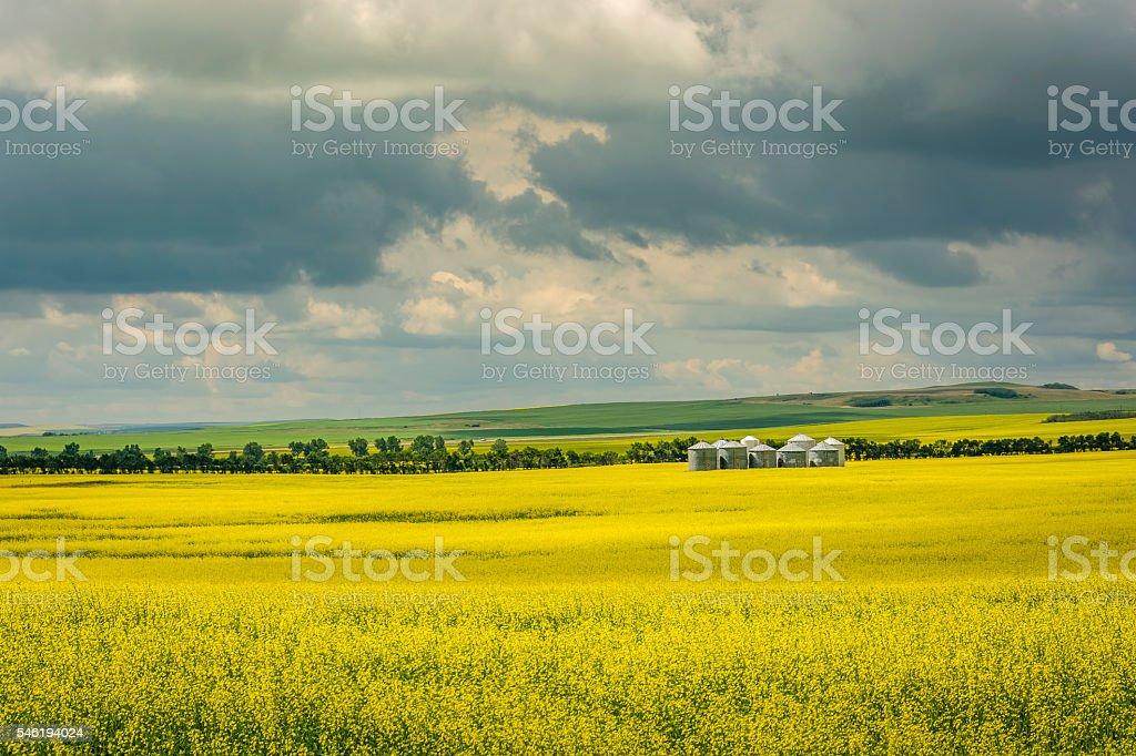 Canadian Yellow Canola Field stock photo