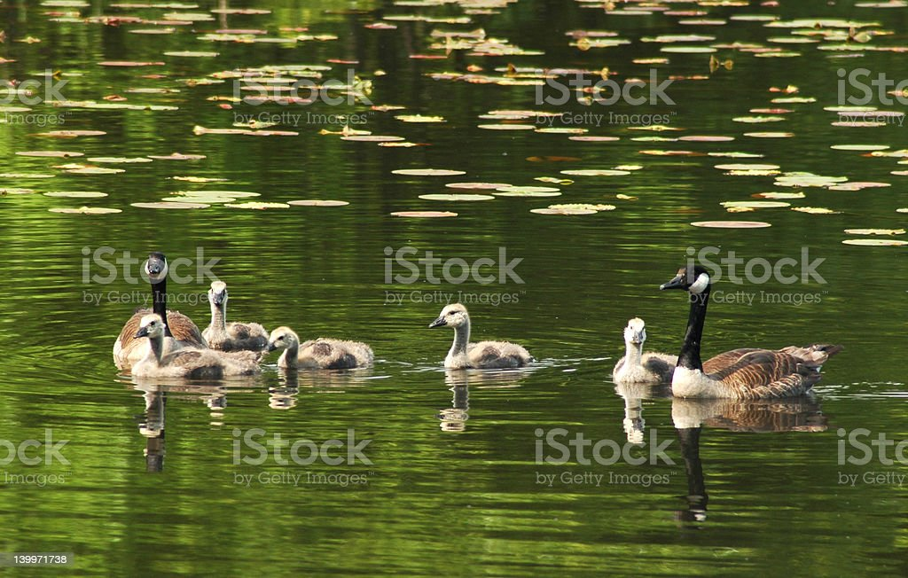 Canadien Geese Family royalty-free stock photo
