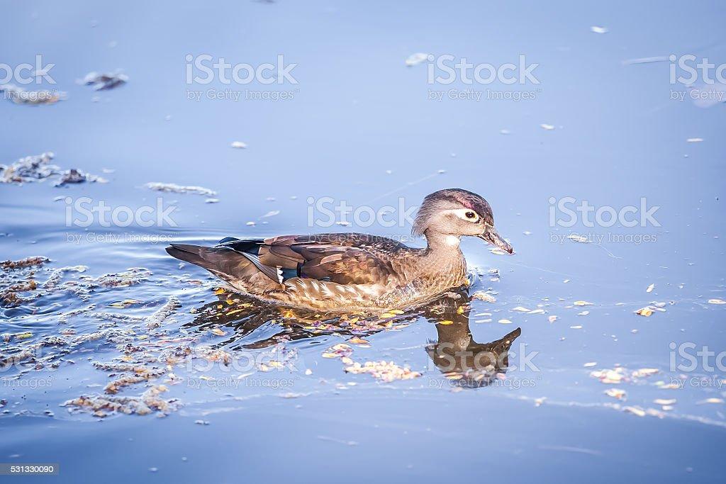 canard carolin femelle,canard branchu femelle stock photo