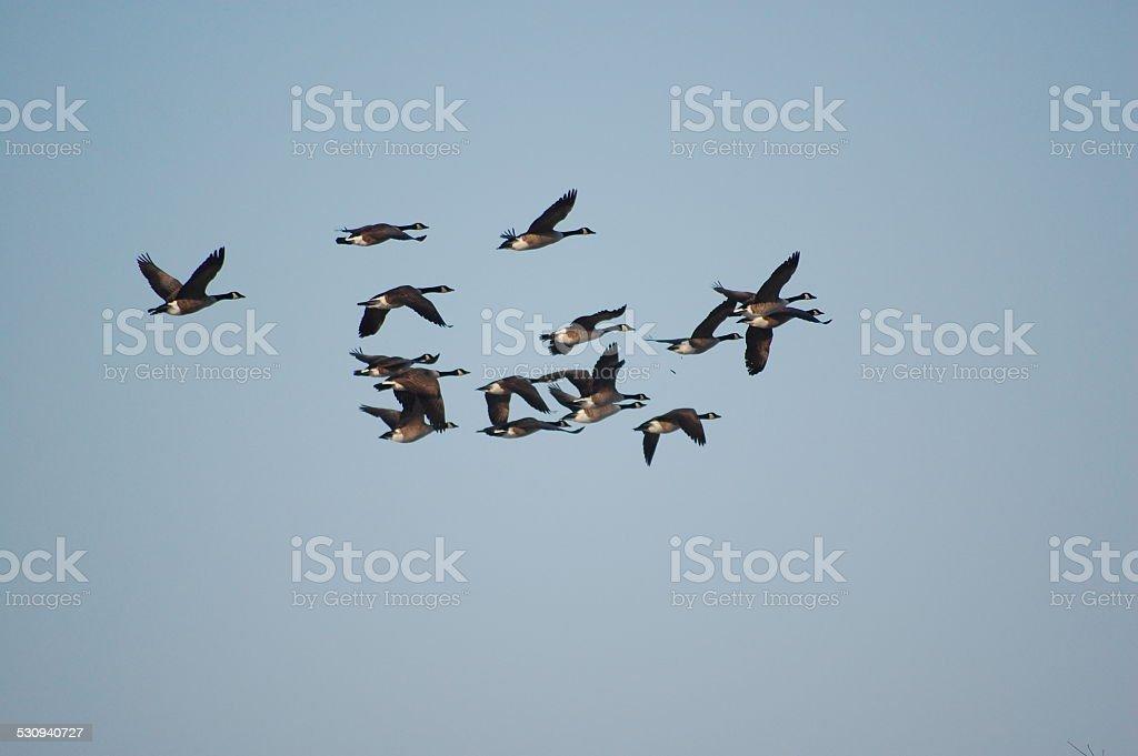 Canard stock photo