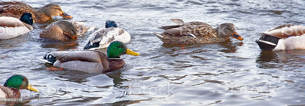 Canards en hiver stock photo