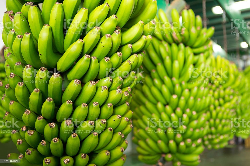 Canarian Banana Platano in La Palma stock photo